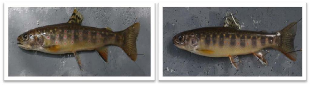 Figure 7: Relative warp diagram showing differences in mouth size and shape. Figure 8: Photographs of brook trout with proportionally larger mouths (left) and proportionally smaller mouths (right).