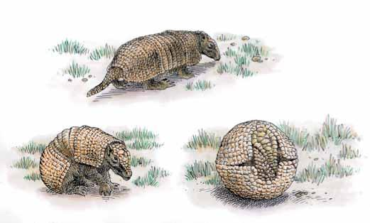 World Cup Bruno Congar / Robin des Bois Several armadillos, mascot of the World Cup, were seized during the month of May in Brazil When facing a danger, the mammal rolled up into ball Operations