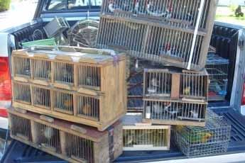 , Appendix I ou II), and 3 siskins Estância, State of Sergipe, Brazil May 26, 2014 The sellers were set up in the Estancia market and were offering to sell the wild birds.