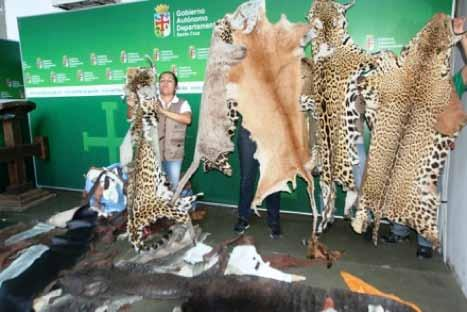 Seizure of 61 kg of paca meat (genus Cuniculus), 116 kg of tapir meat (Tapirus spp.