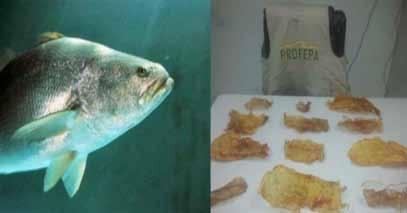Multi Marine Species AMERICA Seizure of 2.76 kg of dried totoaba (Totoaba macdonaldi, Appendix I) and 4.