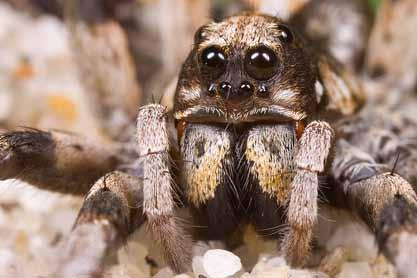 Under the 8 eyes, 2 cheliceraes. According to Plutarch (46-125 AD), the tarantula was considered divine by the Egyptians because the animal was blind and that before Light there was Darkness.