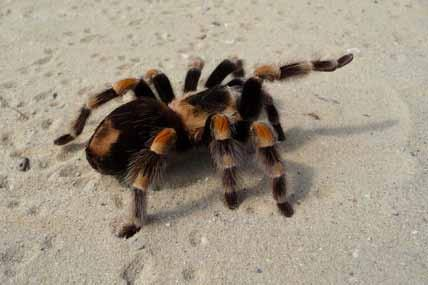 Mexican red-kneed tarantula in captivity.