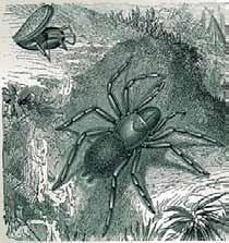 The most famous the Atrax robustus, Sydney funnel-web spider, is found in a 200 km radius around Sydney, Australia. Rarely deadly, a tarantula bite is painful.