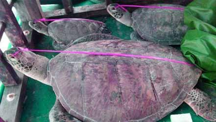 A local fishing boat was arrested at the same time as the Qiongquionghai 09063 with 70 sea turtles on