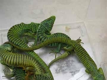 Seizure of 55 turtles, 30 arboreal alligator lizards (genre Abronia, unlisted on CITES), 4 horned vipers (Cerastes cerastes, unlisted on CITES) and a five-keeled spiny-tailed iguana (Ctenosaura