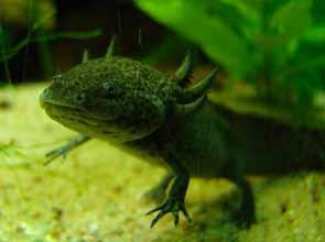 rare, they supply the international market for pets. The animal is bred in captivity and there are more of axolotls in aquariums than in Mexican lakes.