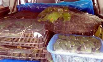 Seizure of 580 canary-winged parakeets (Brotogeris versicolurus, Appendix II), 8 blue-headed parrots (Pionus menstruus, Appendix II), and 3 little monkeys (Primates spp.