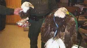 They would sell bones, beaks, claws of eagles and owls, birds of prey of whom hunting is banned in Alberta.