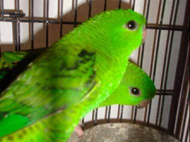 Seizure of 4 barred parakeets (Bolborhynchus lineola, Appendix II) Mexico City, Federal District, Mexico June 28, 2014 The 2 traders were unable to submit the documents proving the legal origin of