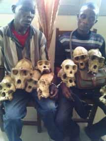Seizure of 10 Western gorilla skulls (Gorilla gorilla, Appendix I) Bertoua, East Region, Cameroon May 8, 2014 2 creepy individuals pictured with 2 gorilla families on their knees road bicycles from