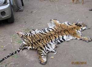 Arrest of a tiger poacher Kalagarh, Uttarakhand, India April 2014 The forest department arrested Banshi, a poacher, and confiscated the knives and steel traps that he used to trap and kill tigers.