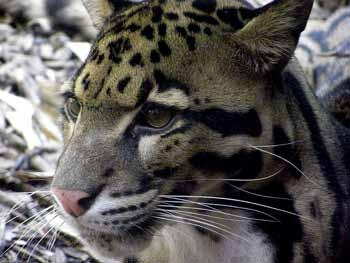 Conviction for illegal possession of a leopard skin Pithoragarh, State of Uttarakhand, India June 2014 The 2 people arrested in June 2011 holding a leopard skin were sentenced to 3 years of prison