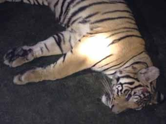 REPEATED OFFENSE Arrest of the poacher of at least 30 tigers Gurgaon, State of Haryana, India June 10, 2014 A regular to whom at least 30 tiger killings can be claimed has been arrested.