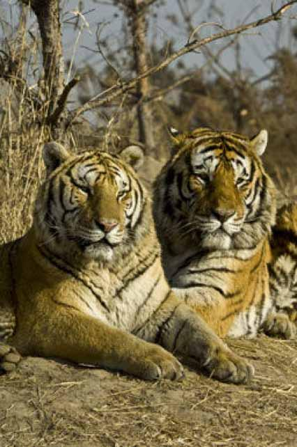 3 poachers have just been sentenced to 5 years in prison for killing a female tiger in March 2013. Formal DNA evidence was provided by the Centre for Cellular & Molecular Biology (CCMB) in Hyderabad.
