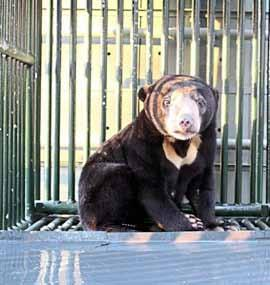 Bears ASIA Seizure of a sun bear (Helarctos malayanus, Appendix I) Cambodia April 2014 Preventing a bear from being cooked in a soup or used in an Asian grandmother s pharmacy to cure rheumatism is