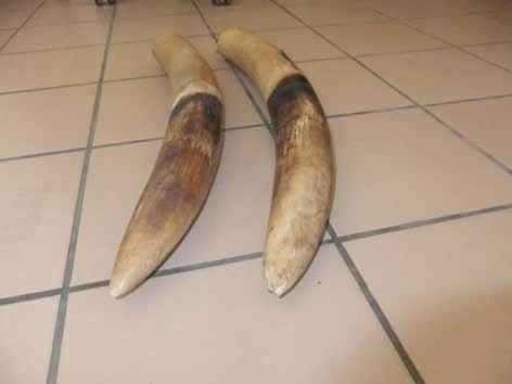 Seizure of 2 elephant tusks Ntoum, Province Estuary, Gabon April 2, 2014 Applauded one day, implicated the next, the Gabonese DGDI (General Directorate of Documentation and Immigration) is
