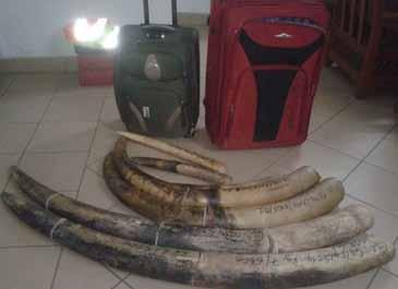 Inside the vehicle there were indeed a good quantity of bush meat and 2 elephant tusks. smugglers including Hamadou Djamad alias Abib were caught out at the M Vengue airfield.