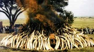 Poaching of one elephant Masai Mara, Narok County, Kenya Carcass found on May 2, 2014 53 Conviction for possession of 2 elephant tusks (5.