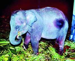 procure, all owners of captive elephants that have not followed procedures for declaration can receive amnesty.