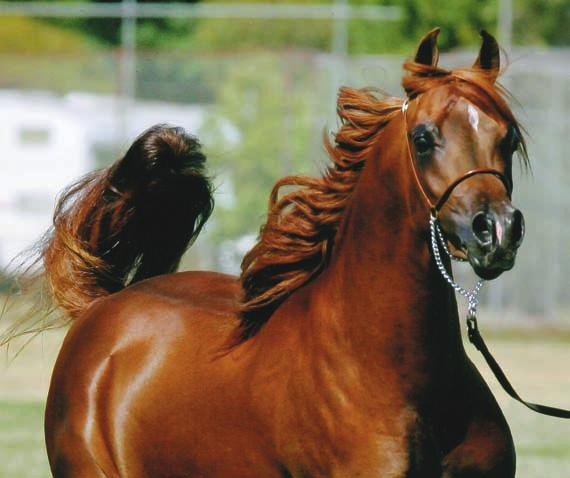 FlameAfire ( * Fa m e M a k e r R x M u l a w a K a r a M i a M i ) 2005 Reserve Australian National Champion Yearling Colt 2006 Reserve Champion Junior Gelding, Victorian Feature Show, both days