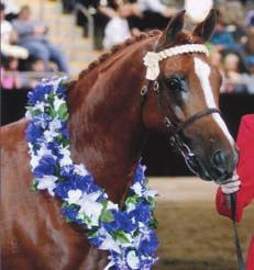 Raskelle is the current East Coast Champion of Champions Led Partbred and Champion Ridden Partbred Stallion.