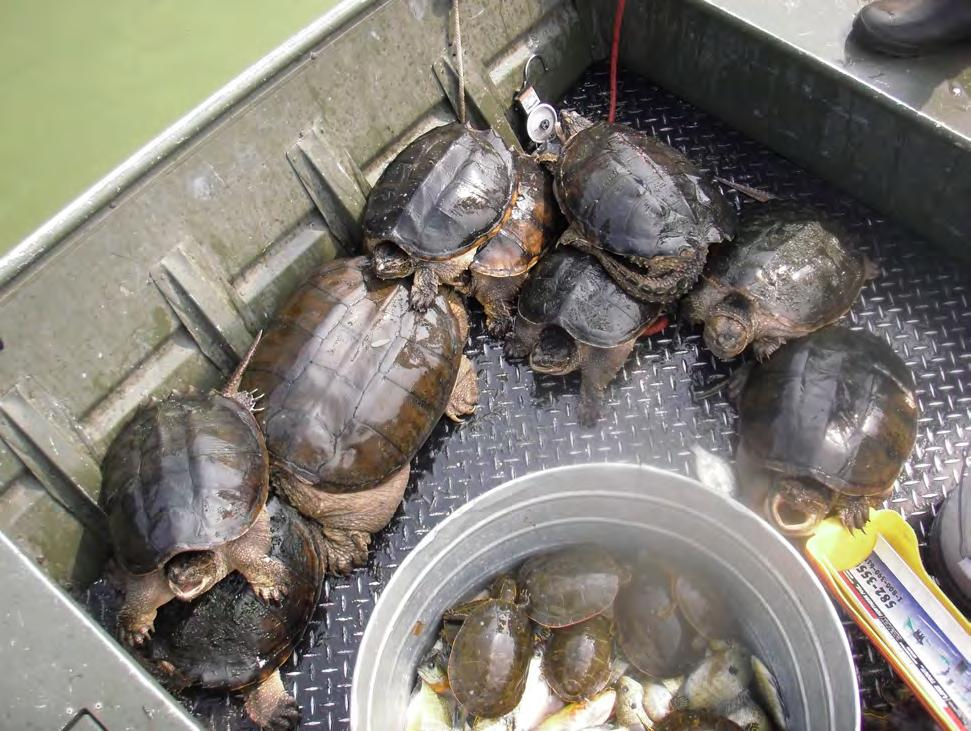 Turtle Results: Painted, snapping, and softshell turtles were sampled in the trapnets and were common in Goose Lake.