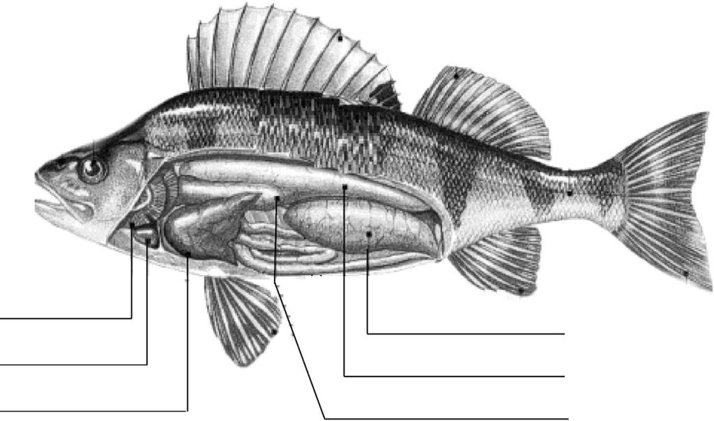 Anatomy of the Fish Use the following words to identify the internal organs of this fish.