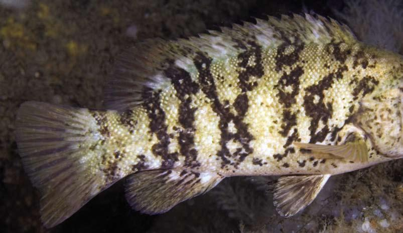 Species Profile: By Peter J. Himchak, Acting Chief, Bureau of Marine Fisheries Jeff Brust, Research Scientist Tautog Common Name: Tautog.
