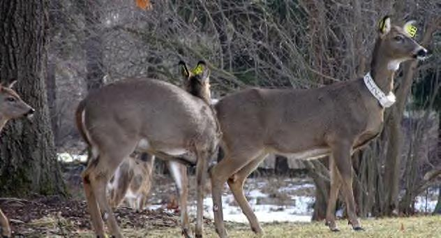 2013 in the core campus sterilization zone (~1,100 acres). Using dart rifles, we captured deer using blinds and bait, or opportunistically while patrolling campus lands.