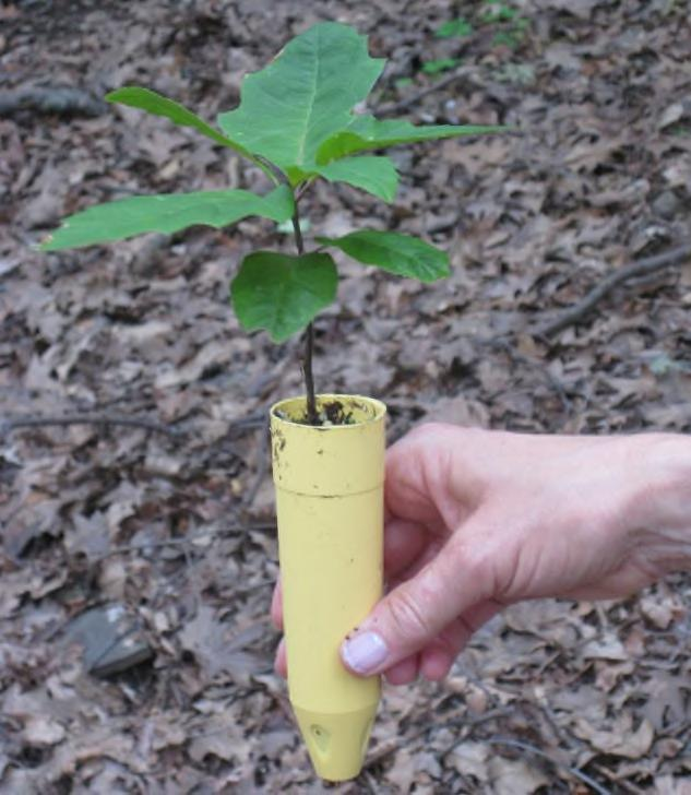 We planted oaks in late spring, slightly later than oak seedlings would emerge from overwintering acorns in the field using a hand-held, 2-inch-diameter drill bit.
