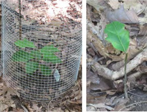 erectum and Trillium grandiflorum, respectively; Fig. 14), are severely browsed even in places where we see good survival of oak seedlings. Figure 12.