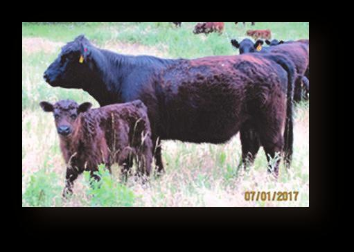 genetics - descendants of certified meat sires from the