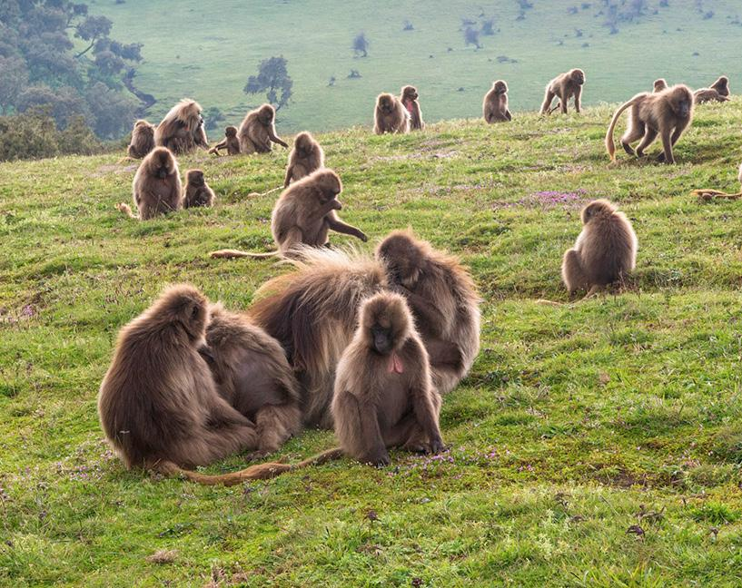 GELADA MONKEYS The gelada is an Old World monkey, not a baboon despite previous naming conventions.