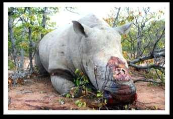 If the dosage is sufficient the rhino may experience a quick death, however, some evidence shows that the animal