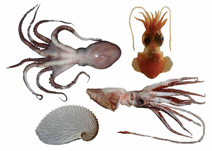 PHYLUM: MOLLUSCA CLASS: CEPHALOPODA Authors Rob Leslie 1 and Marek Lipinski 2 Citation Leslie RW and Lipinski MR. 2018.