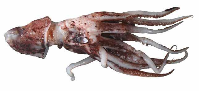 Histioteuthis macrohista (HisMac) Oegopsida Suborder: Histioteuthidae Plain jewel squid LATERAL VIEW Body covered with small photophores Mantle length less than head length Large photophores on tips