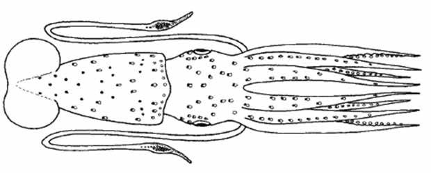 Histioteuthis reversa (HisRev) Oegopsida Suborder: Histioteuthidae Reverse jewel squid Left eye much bigger than right No cartilaginous tubercles on arms Buccal membrane with seven lappets Inner