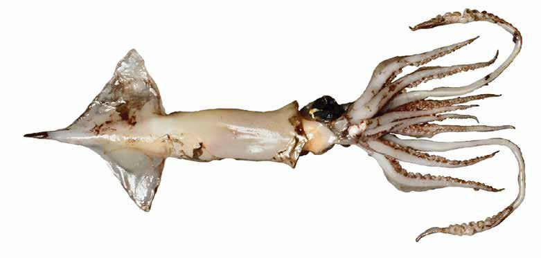 Ornithoteuthis Males Oegopsida Suborder: Ommastrephidae Atlantic and Shiny bird squids MALE: Ornithoteuthis volatilis Fin and mantle extend as long tail Males usually skinned in the trawl