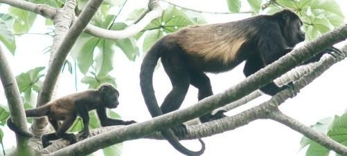 Walking the newly established Calibri Sendero (Hummingbird Trail) and paddling the canal in the dugout canoe, we followed troops of mantled howler monkeys, viewing their unusual blonde markings while