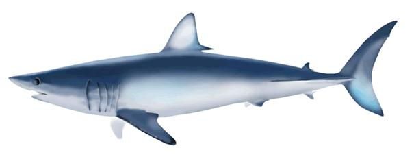 1 ISC/16/SHARKWG-1/21 Size and spatial distribution of the blue shark, Prionace glauca, caught by Taiwanese large-scale longline fishery in the North Pacific Ocean Kwang-Ming Liu 1,2, Kuang-Yu Su