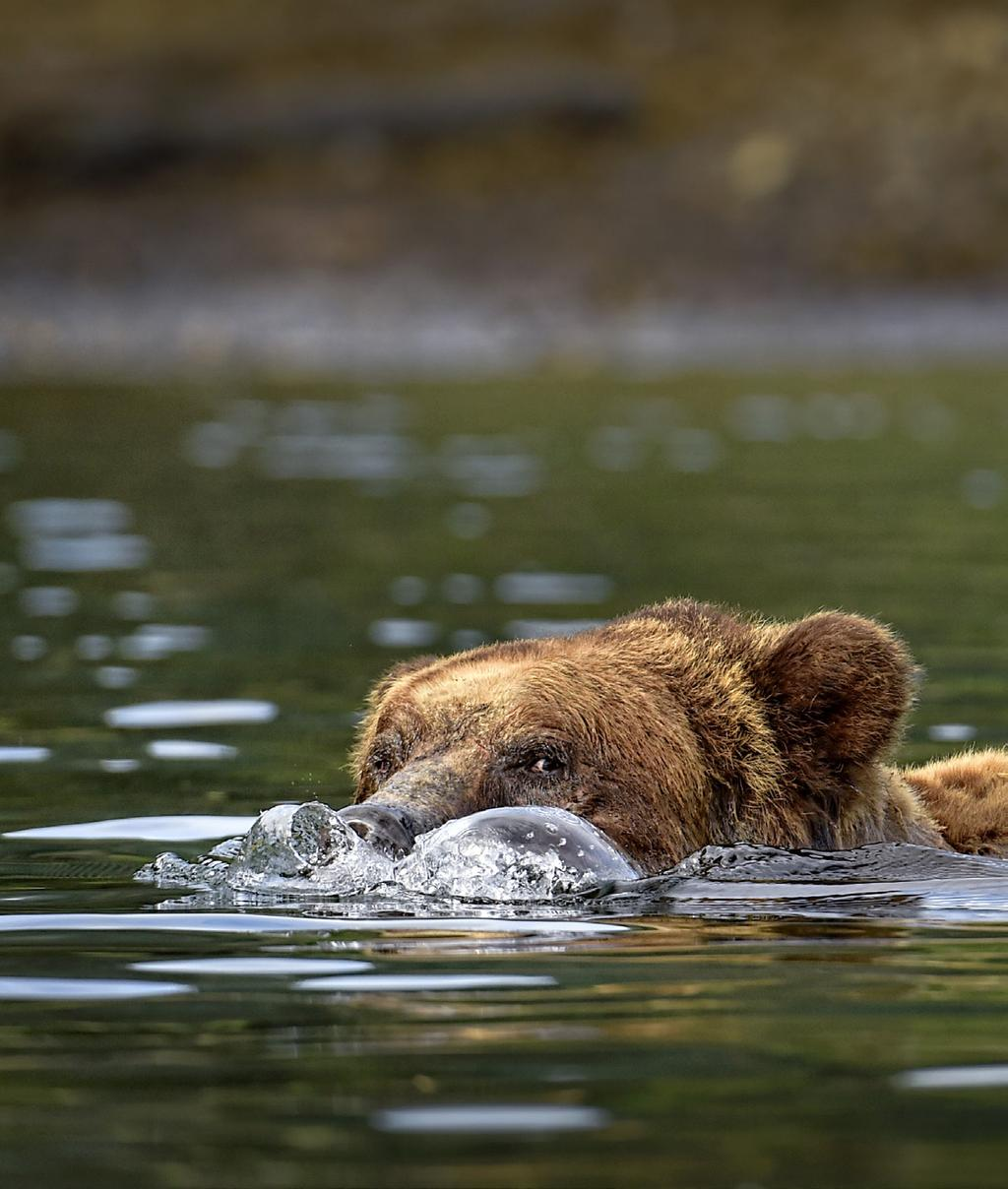 50 PhotoNews BY MICHELLE VALBERG THE GRIZZLIES OF THE