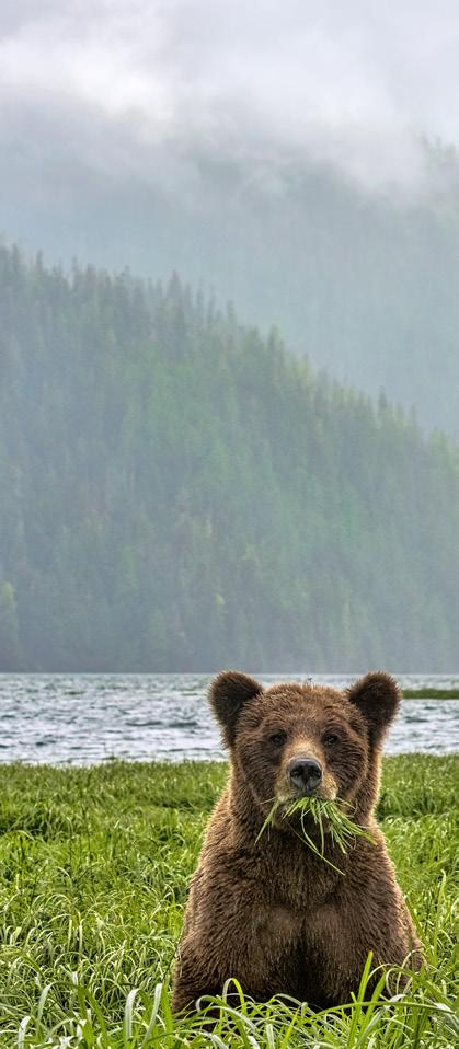 52 PhotoNews Michelle Valberg Canadian Angles It began to rain when this bear decided to climb a fallen tree.