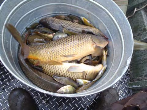 Results Standard Trapnets: A total of ten fish species were sampled in Arctic Lake on September 19 and 20, 2012. Bluegill sunfish were the most abundant species followed by yellow bullheads.