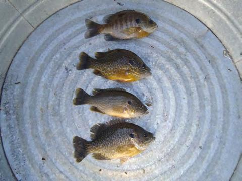 Yellow perch were found at moderate numbers and within a typical range for a lake like Arctic, as defined by the MnDNR.