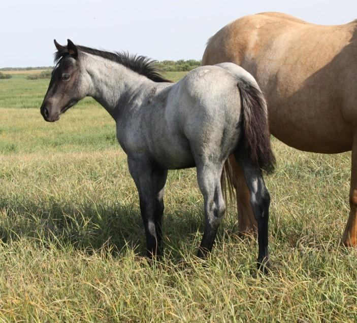 pendng 2014 blue roan filly DR JAY CEE CHARGE 2014 CHESTNUT STALLION PENDING SMOOTH BAR FLICKA LONE TREE MIRAGE FORD SPLATERFACE GO DR JAY CEE CHARGE GOLDEN JAY BAR GOLDEN CHICO REED KAY GRAY SMOOTH