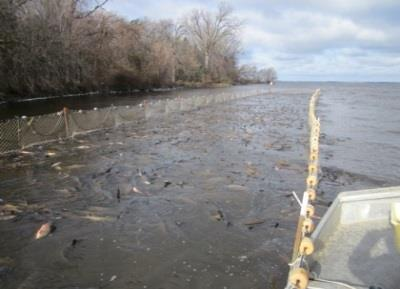 To help mitigate this issue, rough fish commercial seining has been used to sample gamefish species on the Upriver Lakes in years past and was restarted on LBDM in 2013 and renewed in 2014.