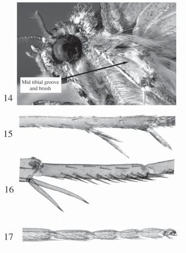 Figs. 14 17. Leg structures. 14. Midtibia of Ophiusini showing lateral groove and brush (Erebidae: Catocalinae: Matigramma). 15.