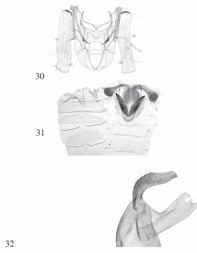 Figs. 30 33. Figs. 30 31, basal abdominal brushes and central pocket of Noctuidae. 30. Hadeninae: Mythimna (Hypopteridia) reversa (MOORE)) (from ZILLI, 1997: 506, fig.