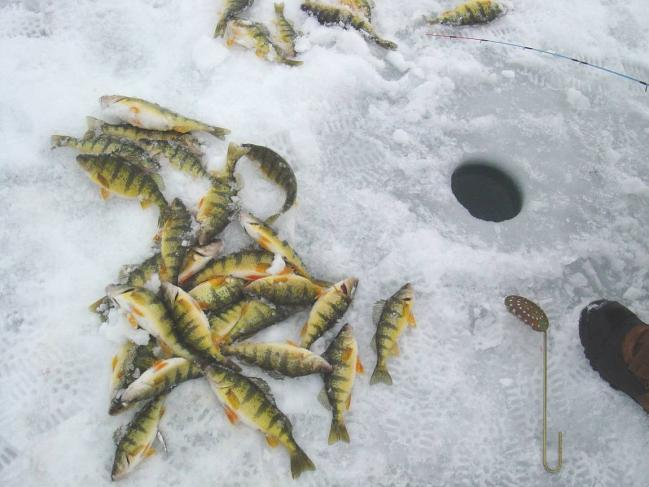 Yellow Perch The most sought